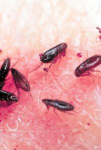 orange-county-fleas