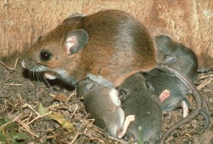 orange-county-rodents-and-mice